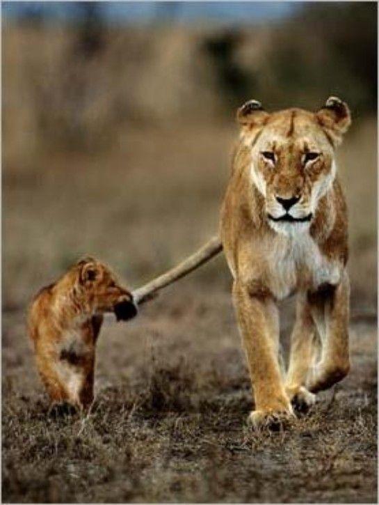 90faebebd3c7a Lioness to Her Cub: