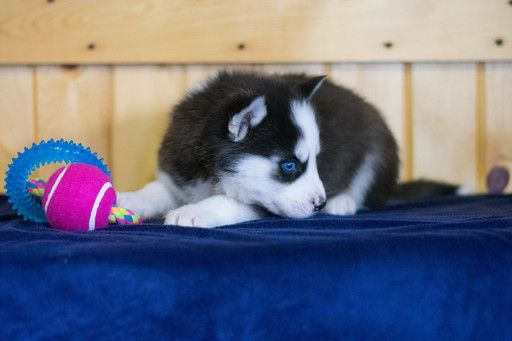 Siberian Husky Puppy For Sale In Cuyahoga Falls Oh Adn 71105 On