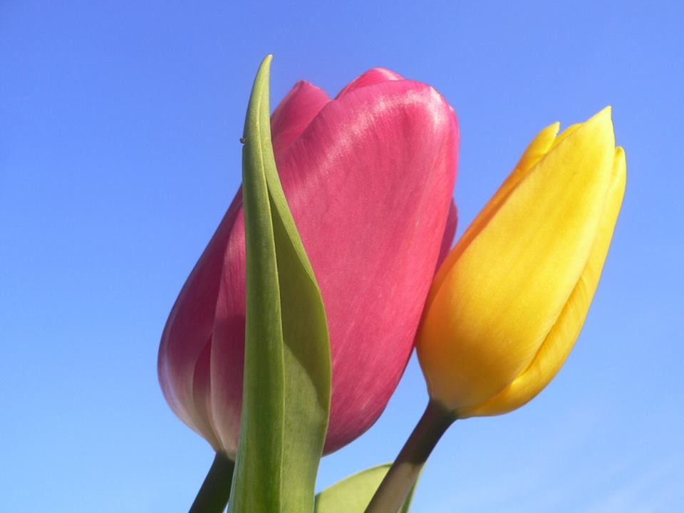 National Flowers Of World Countries Iran Islamic Republic Of Tulip Www Facebook Com Flowerofworld Www Flowerhomes Tulips Flowers Bulbous Plants Tulips