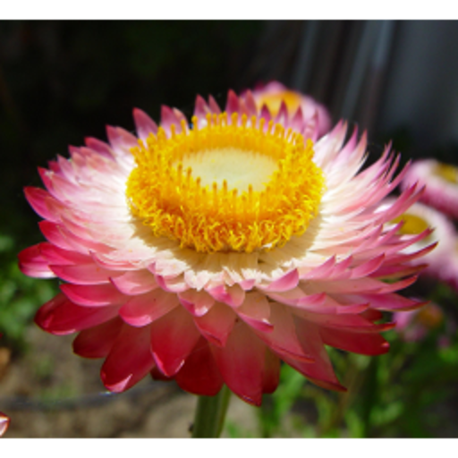 Pink and Yellow Daisies Flowers for mom, Flowers, Paper