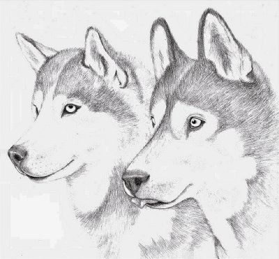 Dessin De Husky Dog Drawing Tutorial Dog Sketch Husky Drawing
