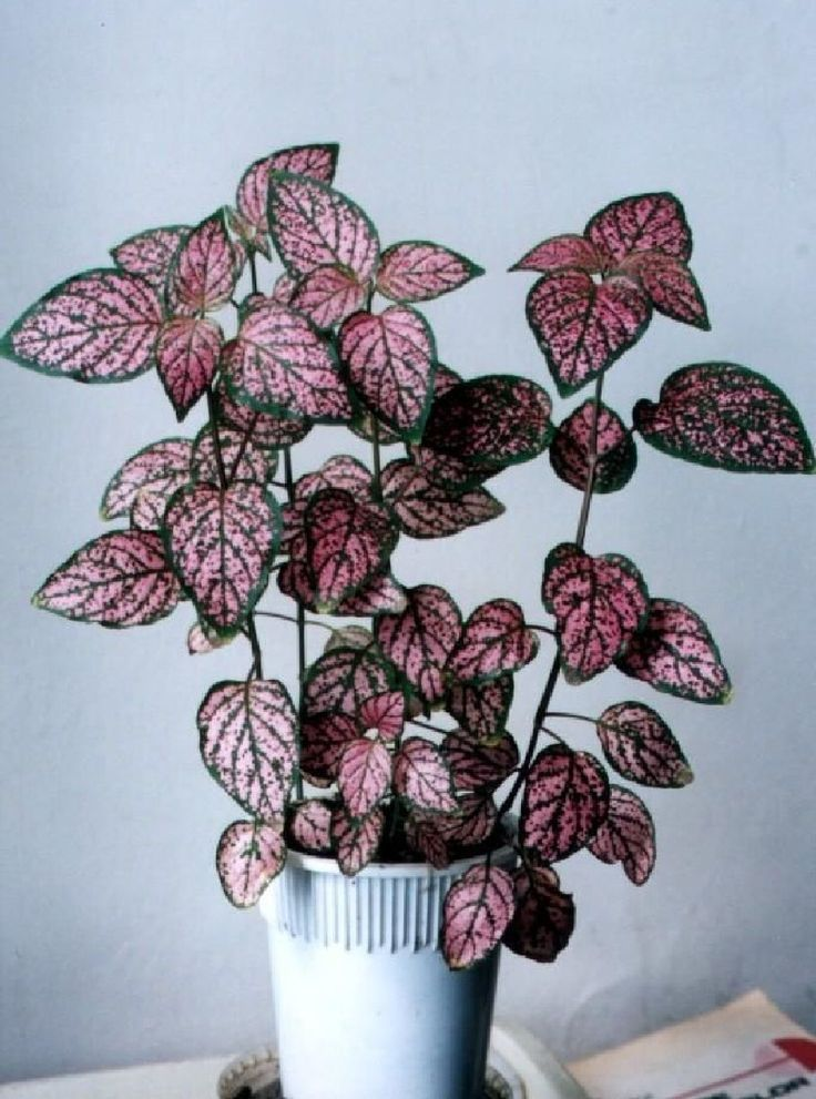 Use These Beautiful Fittonia Nerve Plant Collections to Spruce Up Your Home  Plants  Gardens