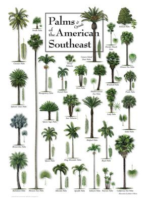 Palms & Cycads of the American Southeast Poster by Robert O'Brien