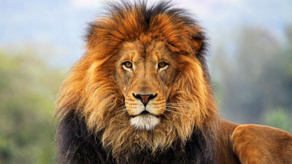 Iphone X Wallpaper Background Screensaver majestic lion