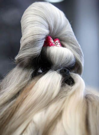 A Chinese Shih Tzu Dog Takes Part In The European Dog Show In