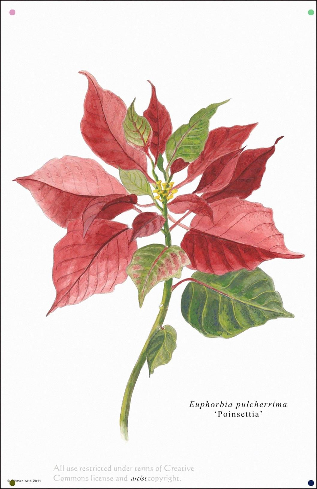Poinsettia Image Results Watercolor Flowers Poinsettia Botanical Flowers