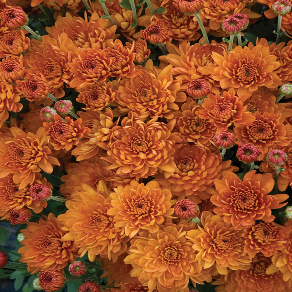 Unbranded 2 5 Qt 1 Bronze Chrysanthemum Plant 67740 The Home Depot In 2020 Chrysanthemum Plant Chrysanthemum Plants