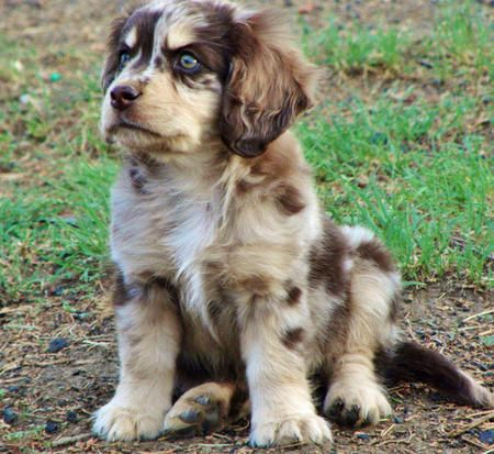 Queen The Aussie Shep Coxie Spaniel Mix Hobbies Include Playing With Kittens Australian Shepherd Australian Shepherd Puppies Cocker Spaniel Mix