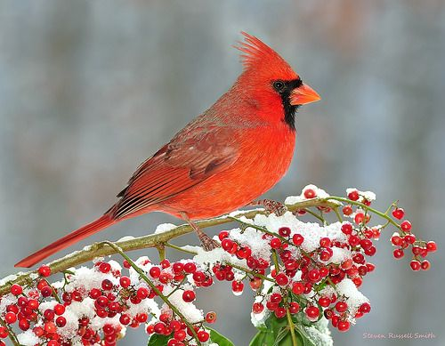 Cardinal in snow with berries snow cardinals northern - Pictures of cardinals in snow ...