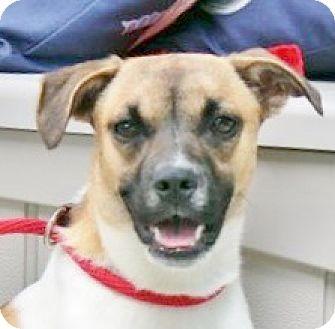 Hagerstown, MD Boxer/Pug Mix. Meet Caroline B, a dog for