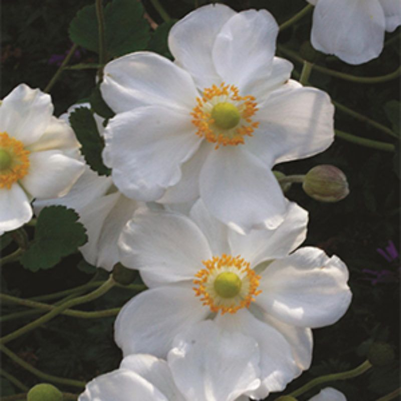 Fall Blooming Anemones To Plant Now Grow Beautifully Japanese Anemone Plants Flower Garden Design