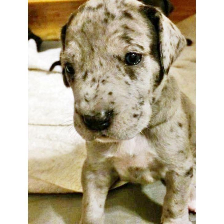 Black Merle Purebred Great Dane Pups Great Dane Puppy Great