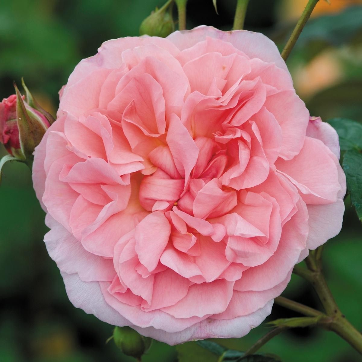 Most fragrant climbing rose strawberry hill most