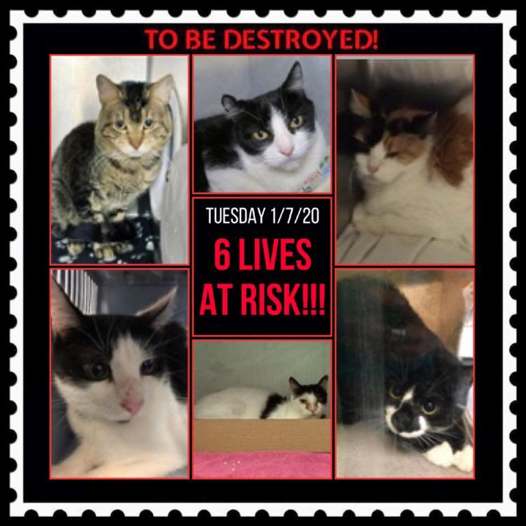 CATS TO BE DESTROYED 01/07/20 in 2020 Cats, Pet adoption