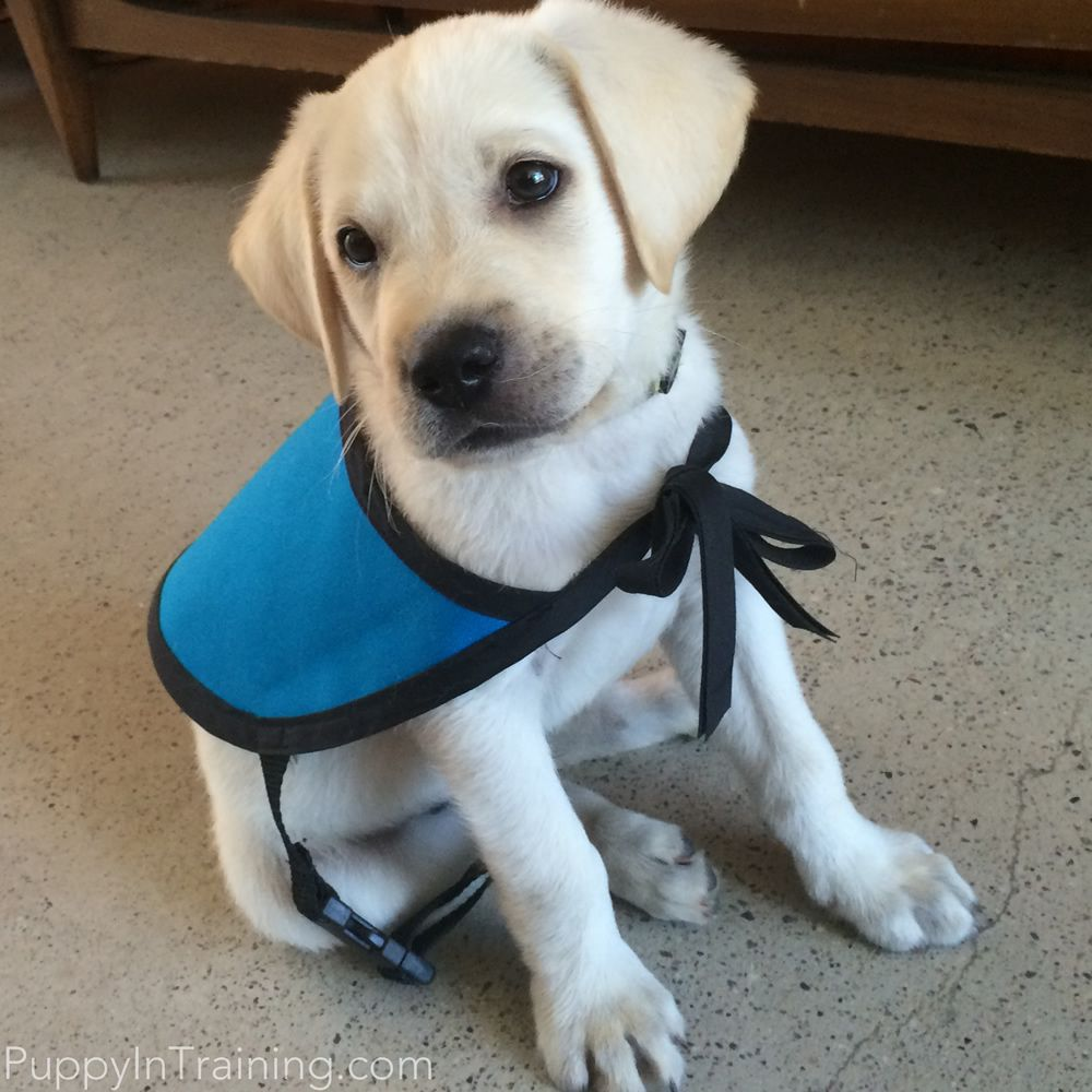 The Puppy Raisers Guide To Raising And Training Service Dog