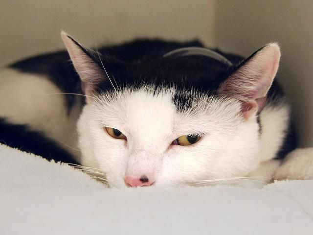 Iori A1087218 Manhattan To Be Destroyed 09 09 16 Innocent Iori Found On The Street This Average Rated Kitten Adoption Foster Cat Cat Adoption