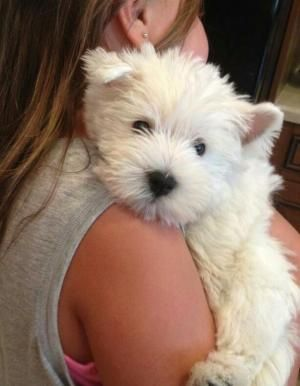 Teacup Westies For Sale Google Search Westies Dog Love Puppies For Sale