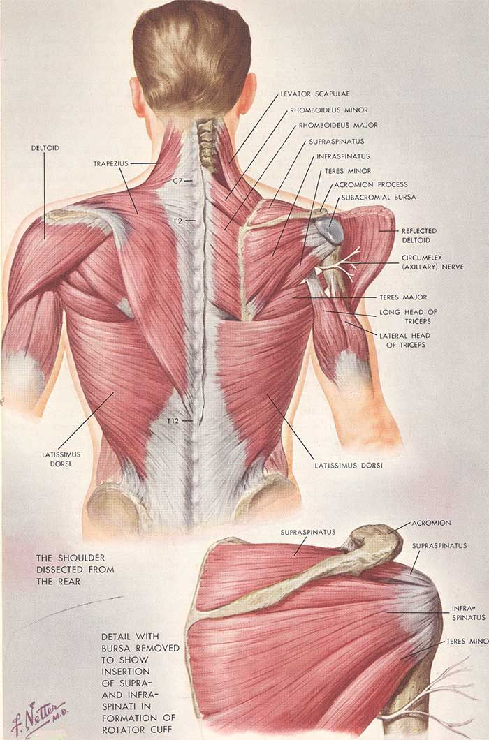 Soreness After A Chiropractic Adjustment Anatomy Shoulder And Muscles