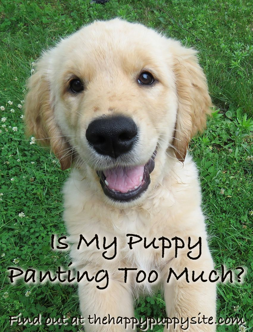 Why Do Dogs Pant A Complete Guide To Dog Panting Puppy Love