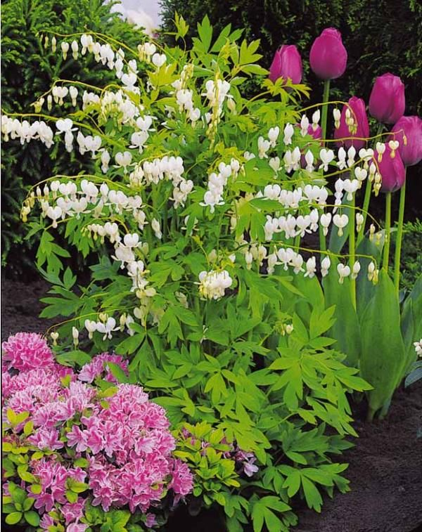 coeur de marie blanc jardin pinterest coeur de marie marie et coeur. Black Bedroom Furniture Sets. Home Design Ideas