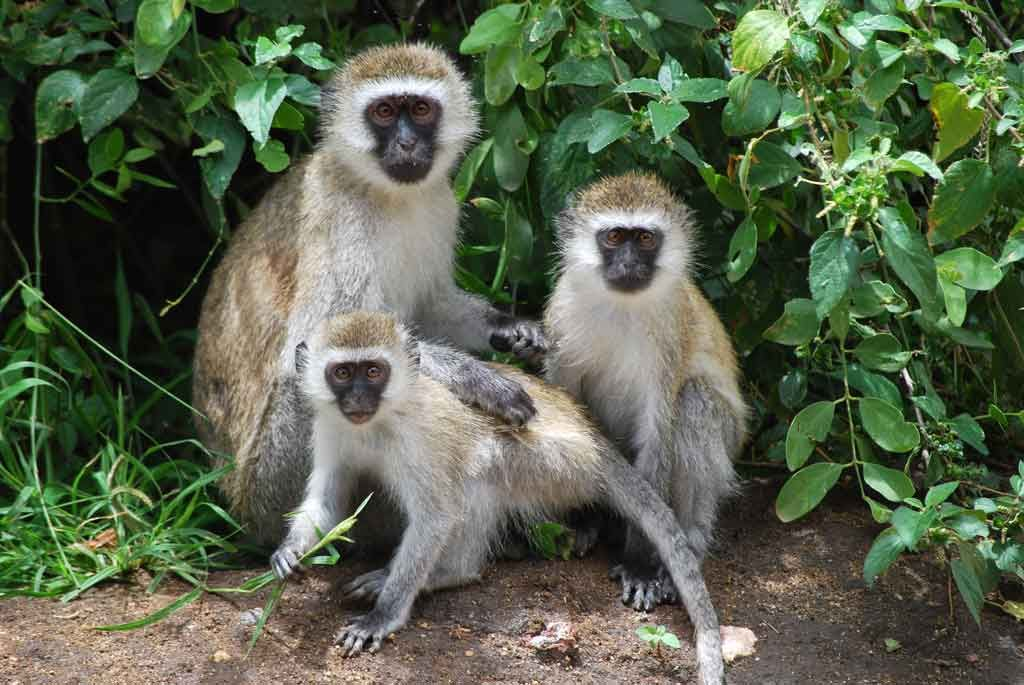 5 Amazing Animals That Start With The Letter V Vervet Monkey Animals Animals Beginning With V