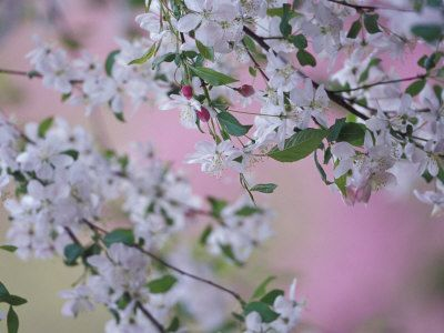 Weeping Cherry Tree Blossoms Louisville Kentucky Usa Weeping Cherry Tree Cherry Tree Poster Prints