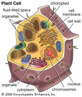 Plant and animal cells not labeled google search 6th grade plant and animal cells not labeled google search ccuart Image collections