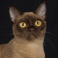 Beautiful Burmese Cats I Am Proudly Owned By Two Of Them My Little Female Looks Like This Cat And Her Name Is Winnie Burmese Cat Cats Burmese Kittens