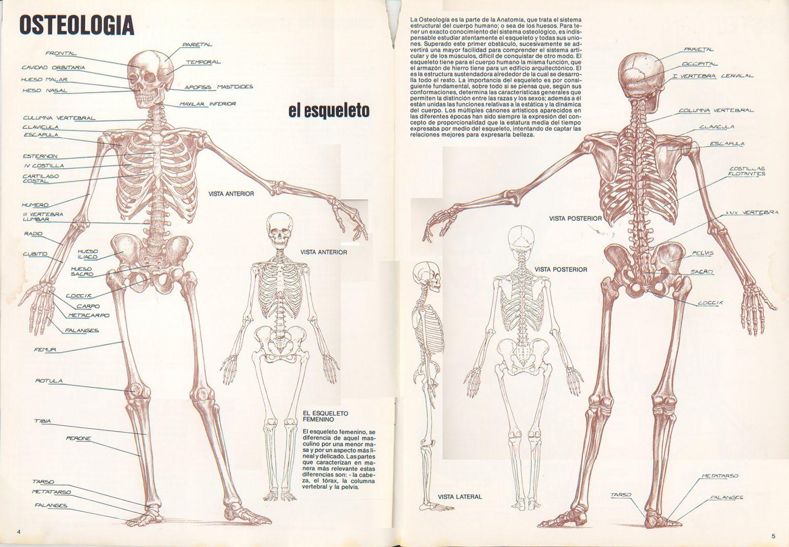 Dorable Explorar La Creación Con La Anatomía Bandera - Anatomía de ...