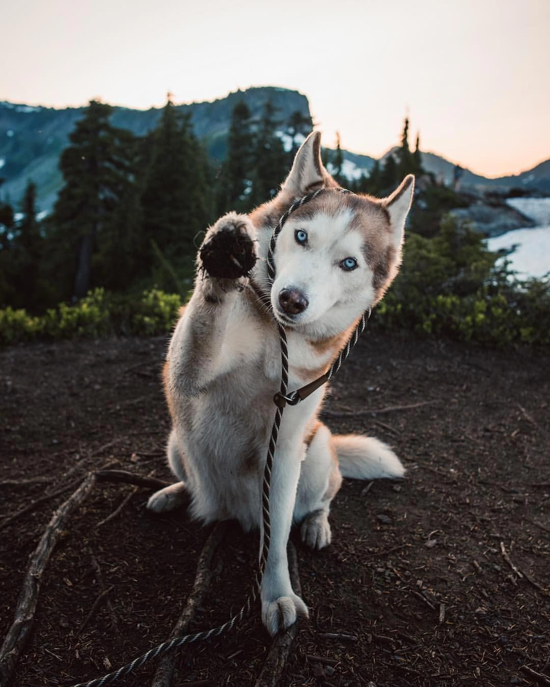 Siberian Husky Outgoing and Cheeky (With images) Husky