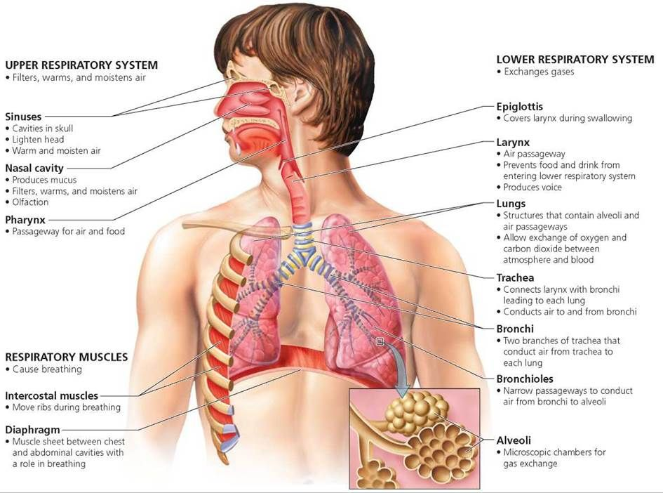 How Does Oxygen Get From The Lungs To The Cells