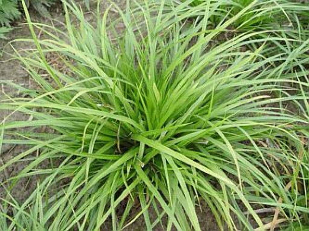 carex morrowii 39 variegata 39 google zoeken binnenplein pinterest plants grass and garden. Black Bedroom Furniture Sets. Home Design Ideas