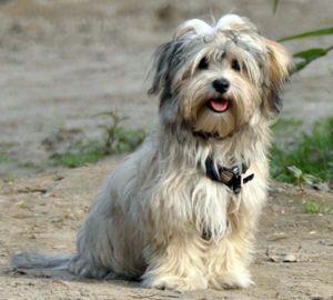 Hunderasse Havaneser Havaneser, Hunderassen, Hunde rassen