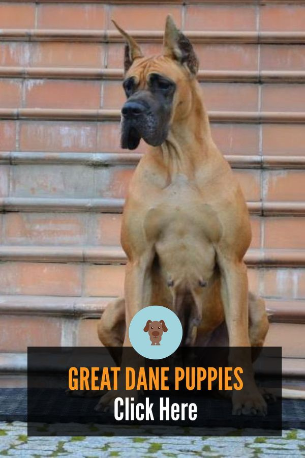 Great Dane Patient And Friendly 2020 Great Dane Great Dane