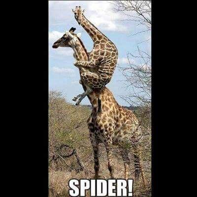 Giraffes...  Spider!