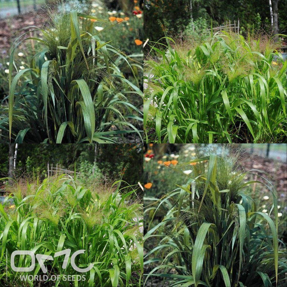Buy blue dune lyme grass in nw arkansas - Us 1 78 In Home Garden Yard Garden Outdoor Living Flowers