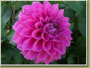 Flowers Photos Mexico National Flower Beautiful Flowers Pictures Dahlia Flower Flowers