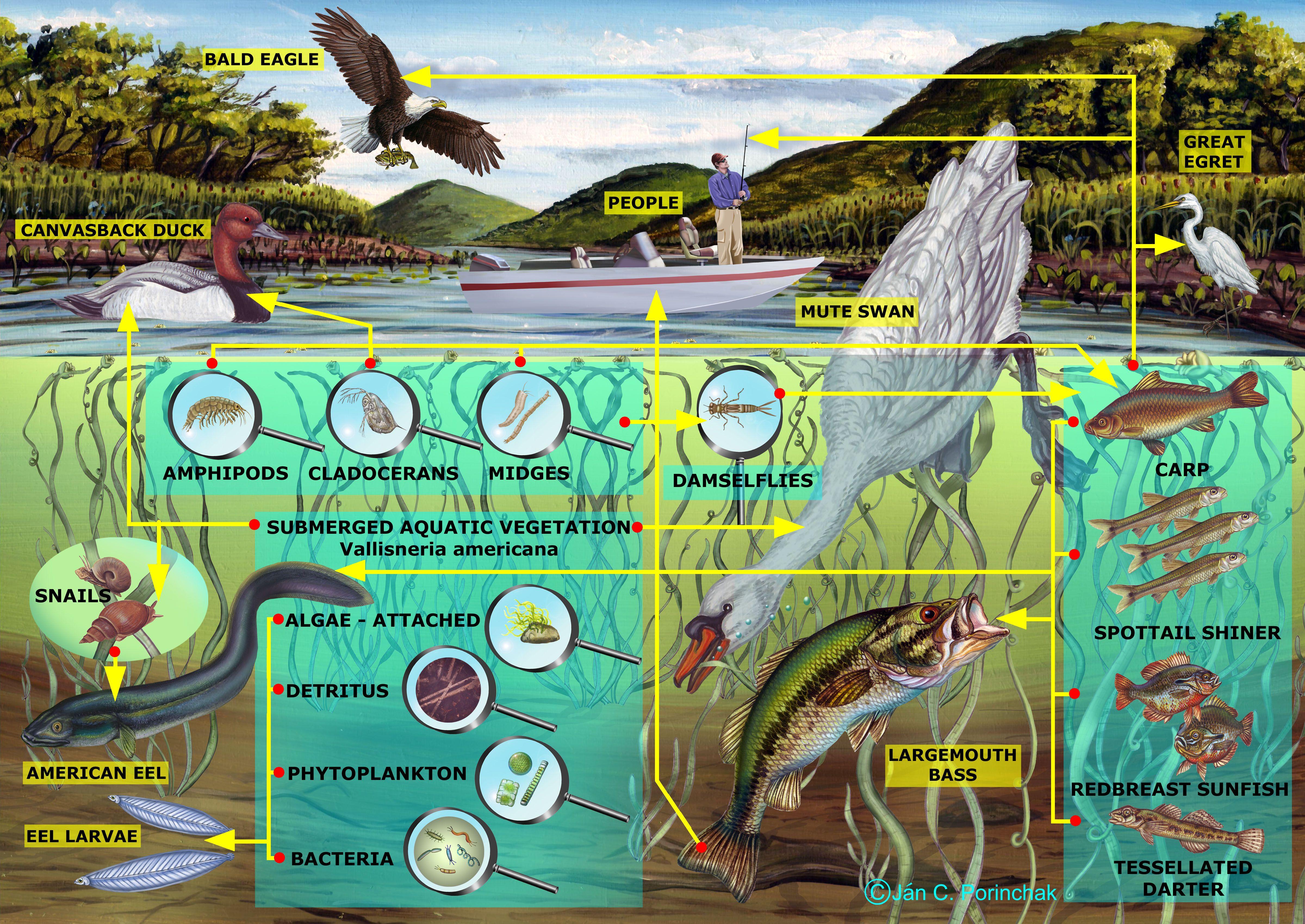 freshwater_shallows_food_web.jpg (4800×3400) Aquatic