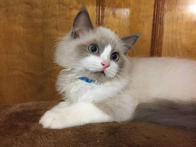 Humble Ragdoll kittens for sale. Kitten for sale