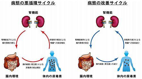 便秘症の薬が腎臓病に効く可能性示す サイエンスポータル