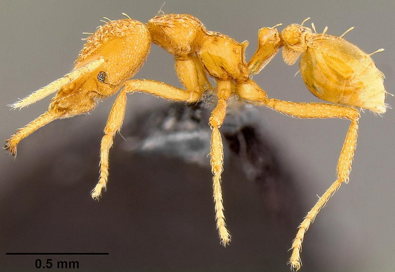 Ant Ventral