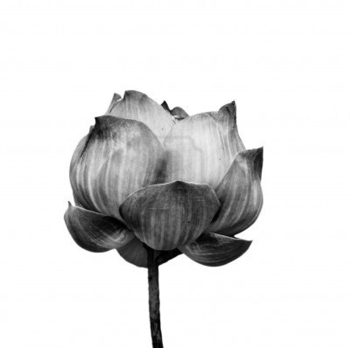 Lotus Flower In Black And White Isolated On White Background Stock