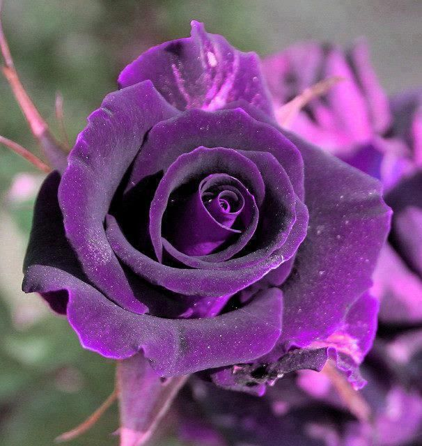 velvety purple rose
