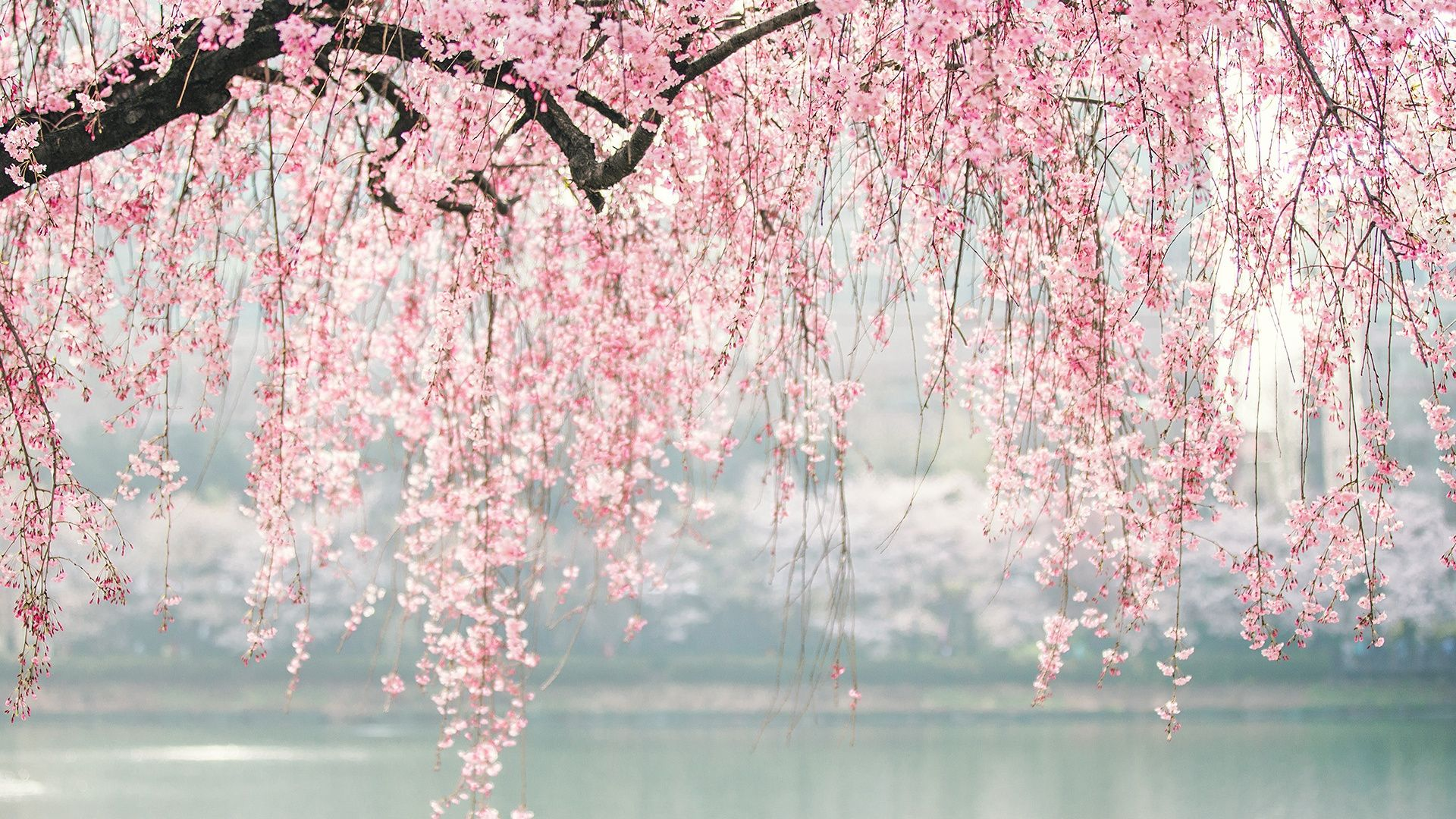 Download 1920x1080 Wallpaper Japan Cherry Blossom Tree Flowers Full Hd Hdtv Fhd 1080p 192 In 2020 Aesthetic Desktop Wallpaper White Blossom Tree Cherry Blossom
