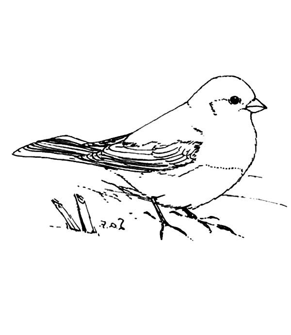 Junco Bird Standing On Land Coloring Pages