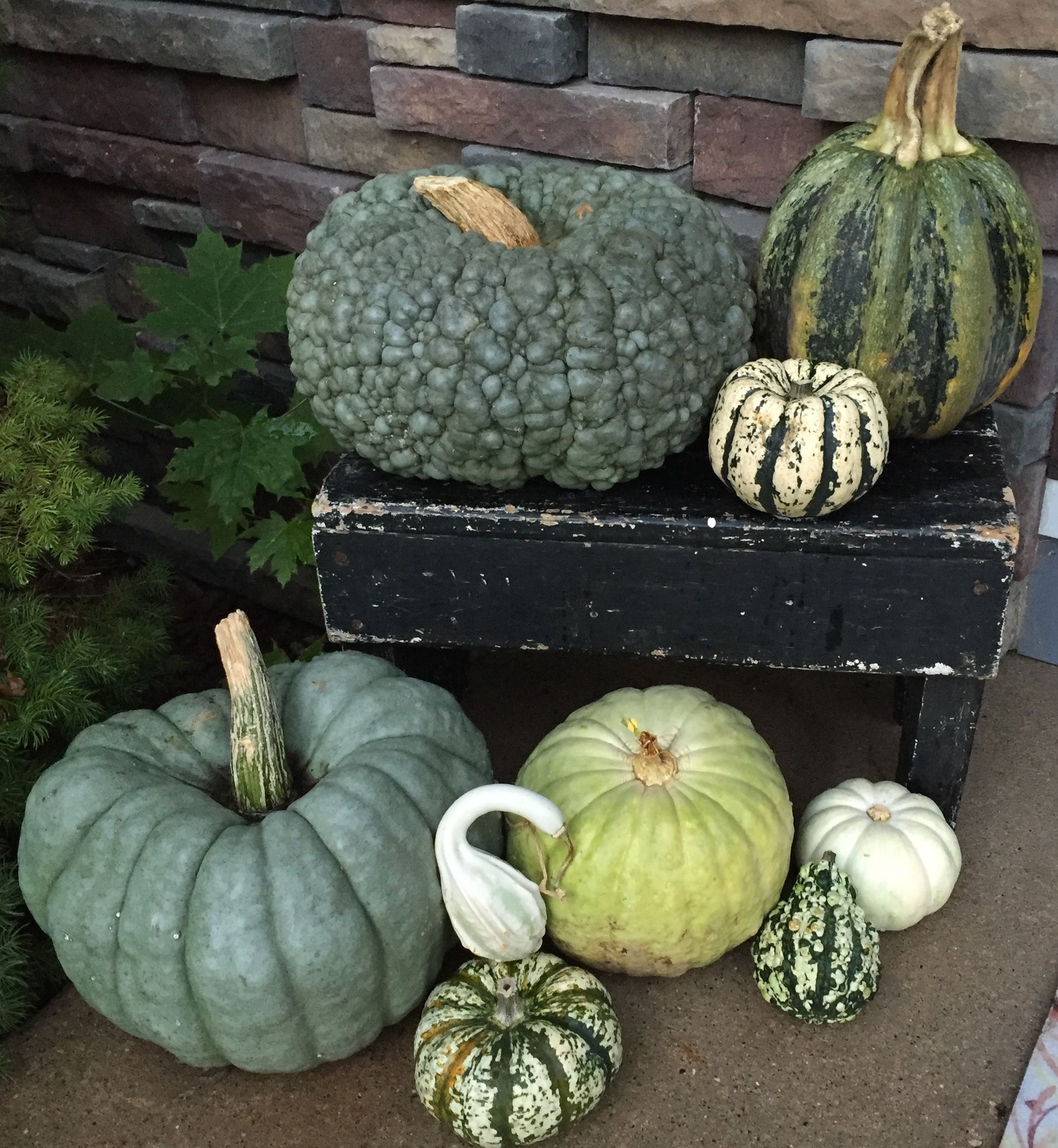 Green Pumpkins and gourds with an old antique bench
