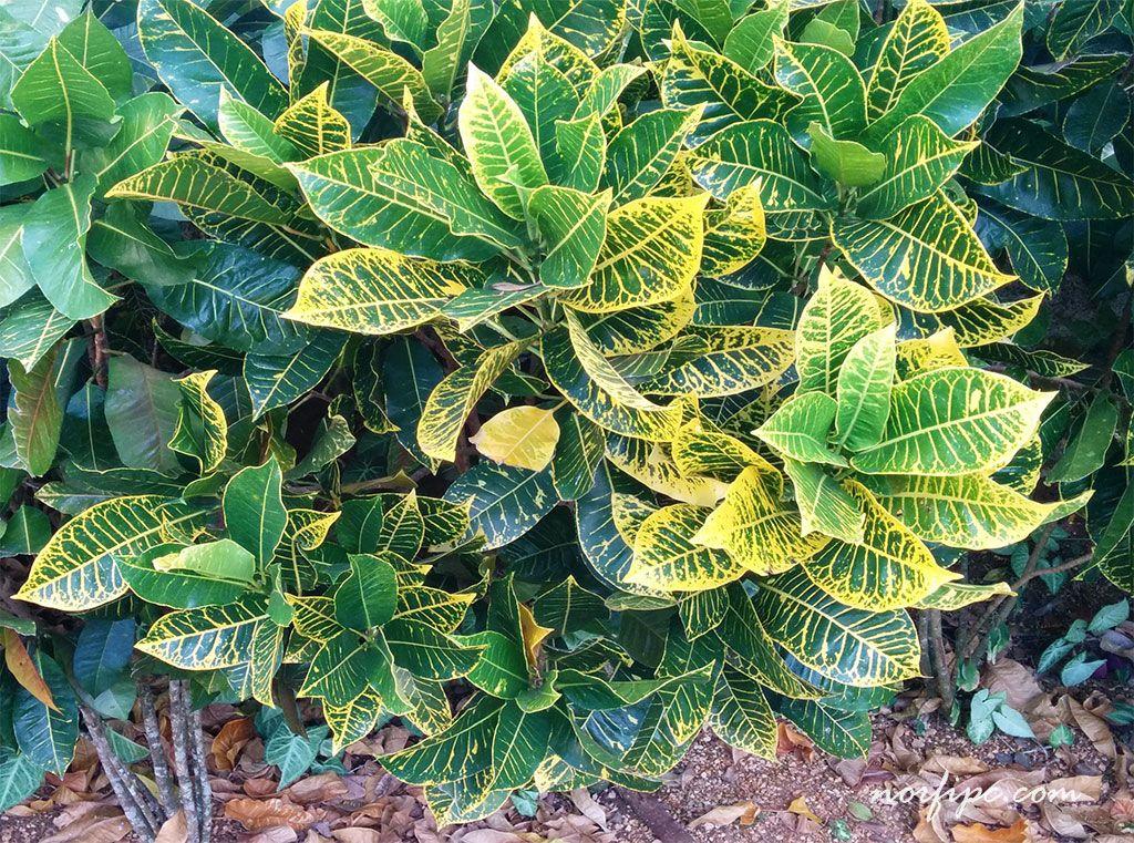 Los crotos croton croto o codiaeum pinterest plantas for Matas de jardin