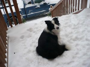 Chiots Border Collie Sherbrooke Quebec Image 7 Little White Canada