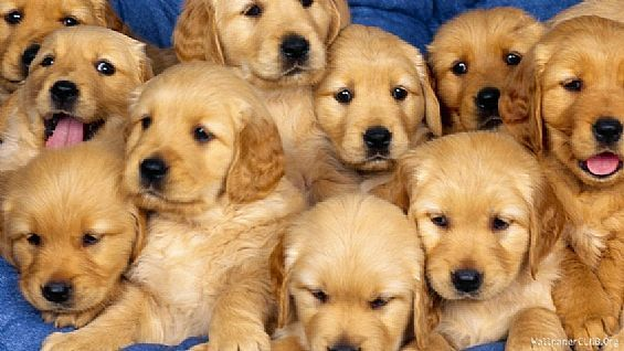 Golden Retriever Puppies Pet Dog Puppies For Sale In Ny Want Ad