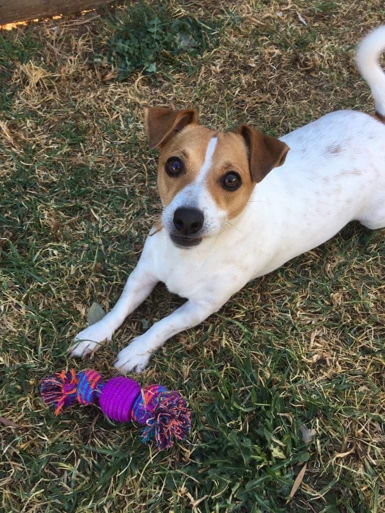 Ivy May With Her New Toy Jack Russell Terrier Jack Russell